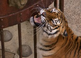 Tiger in TC_Looking up_5_with Boyard chest_2015